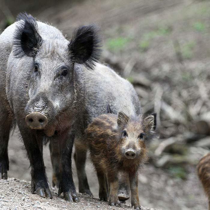 boar-2504313_1280